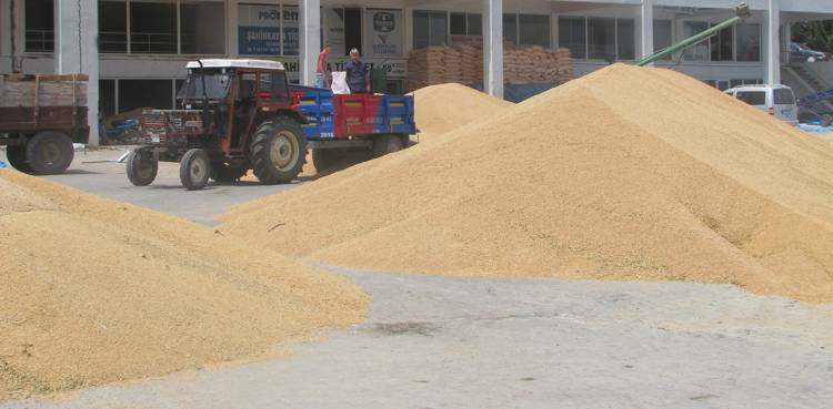 Buğday Alım Fiyatları 80-90 Kuruş Civarında